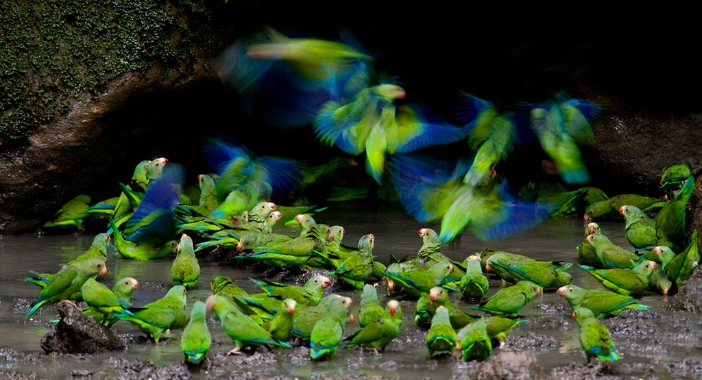 Parrots - Napo Wildlife Center