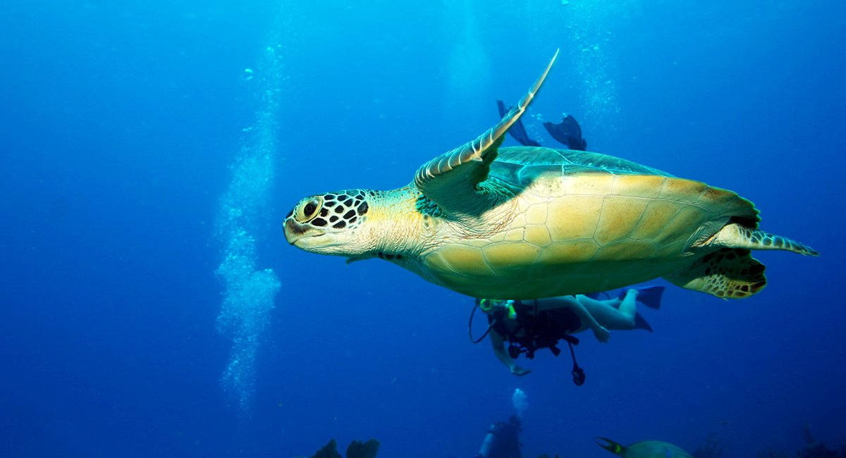 Belize Dive Haven - Turtle